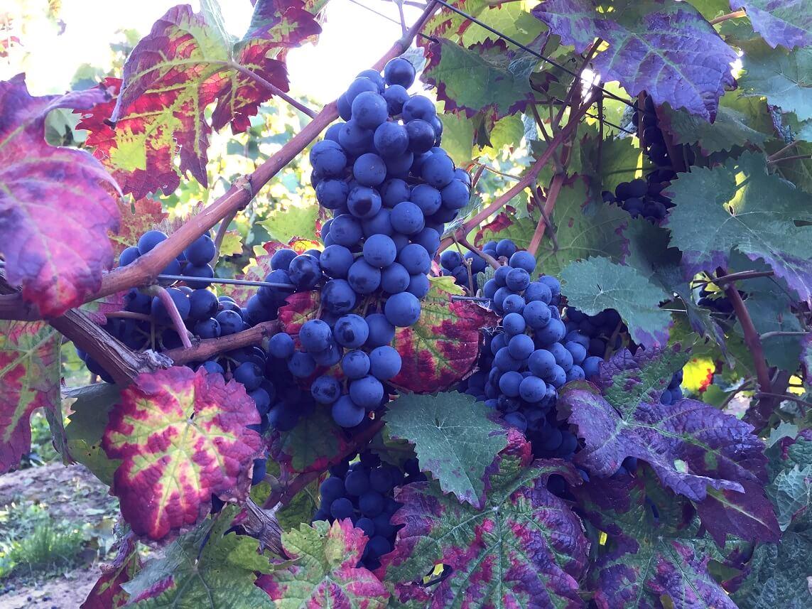 Dornfelder-Weontrauben - Weingut Pitthan