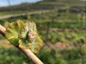 Frische Blüten - Weingut Pitthan