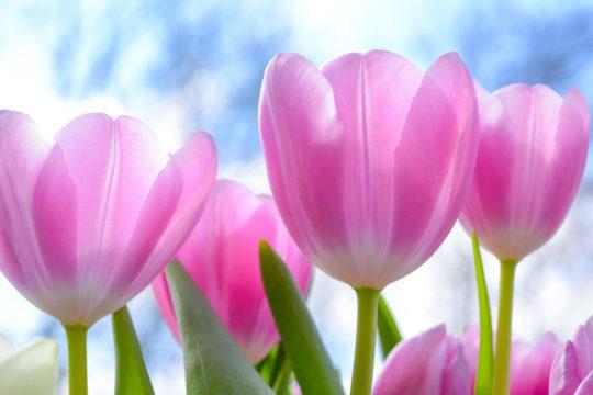 Tulpen zu Ostern - Weingut Pitthan